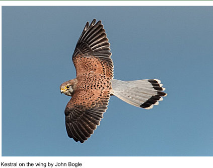 Kestral on the wing by John Bogie